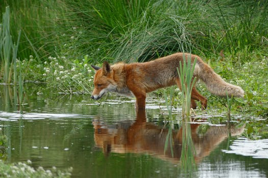 Tan and Orange Fox Standing in Water Near the Grass