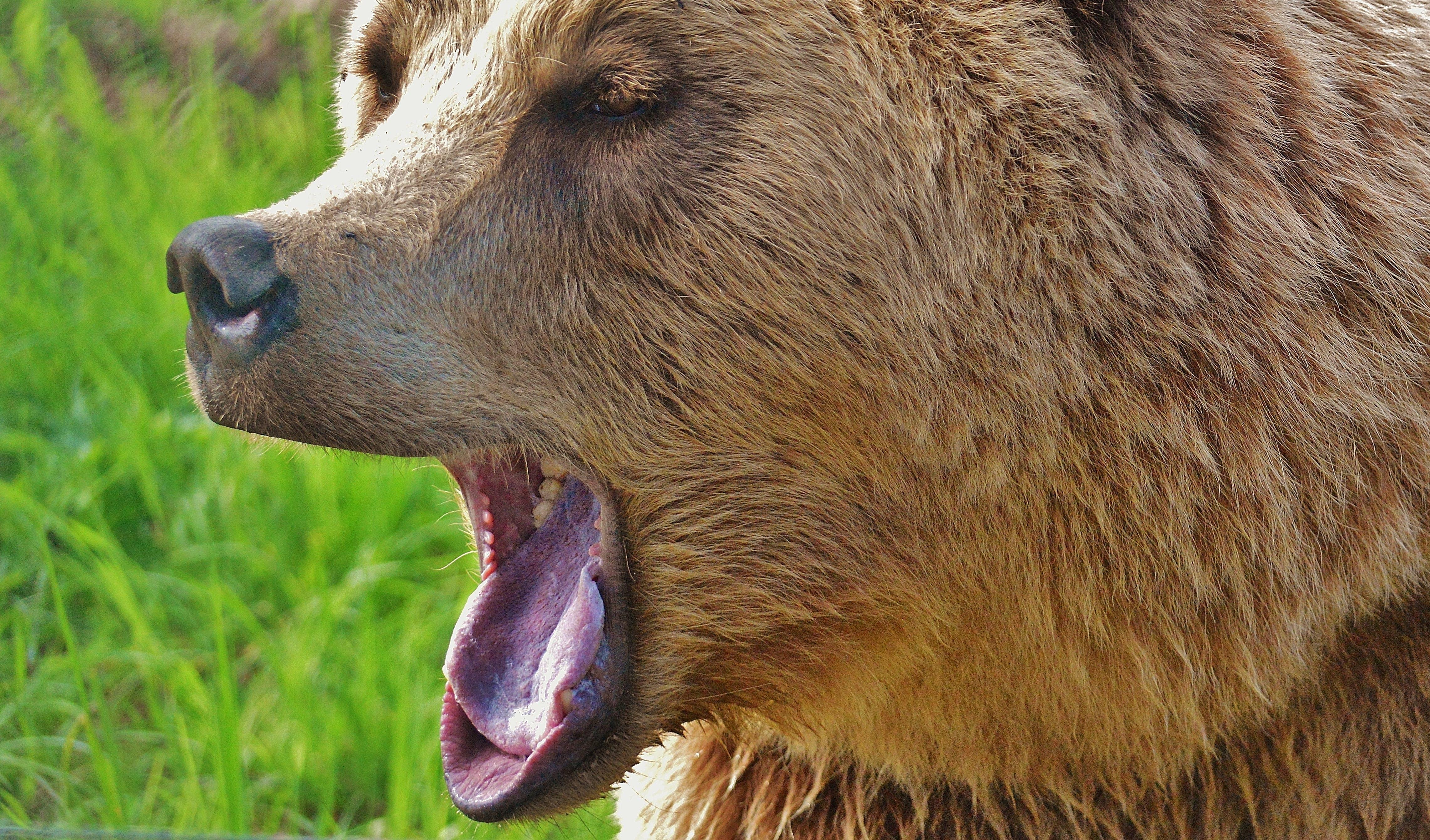 Brown Long Coated Animal Yawning
