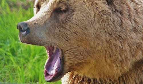 Základová fotografie zdarma na téma divočina, kožešina, medvěd, zblízka