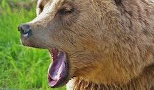 animal, fur, bear