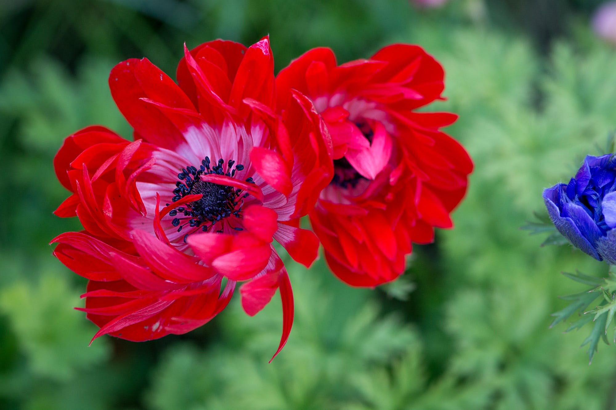 Free stock photo of nature, red, summer, garden