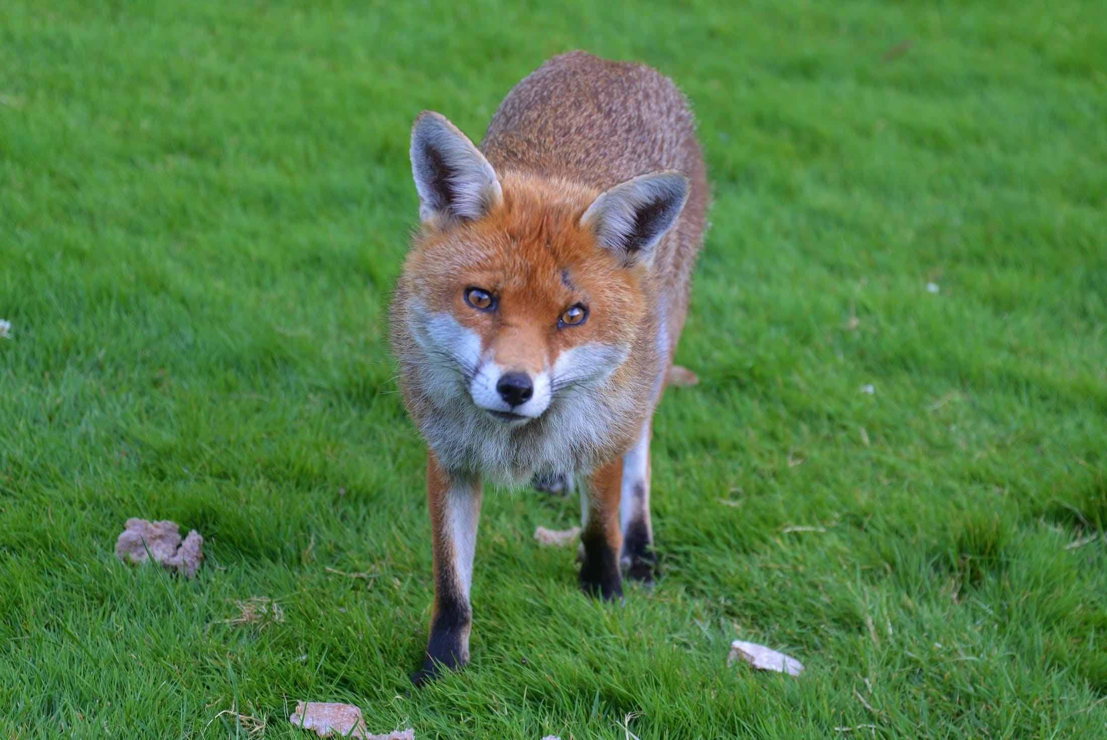 Brown Fox in Green Grass Field