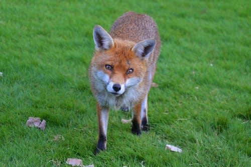 Photos gratuites de à fourrure, adorable, animal, animal sauvage