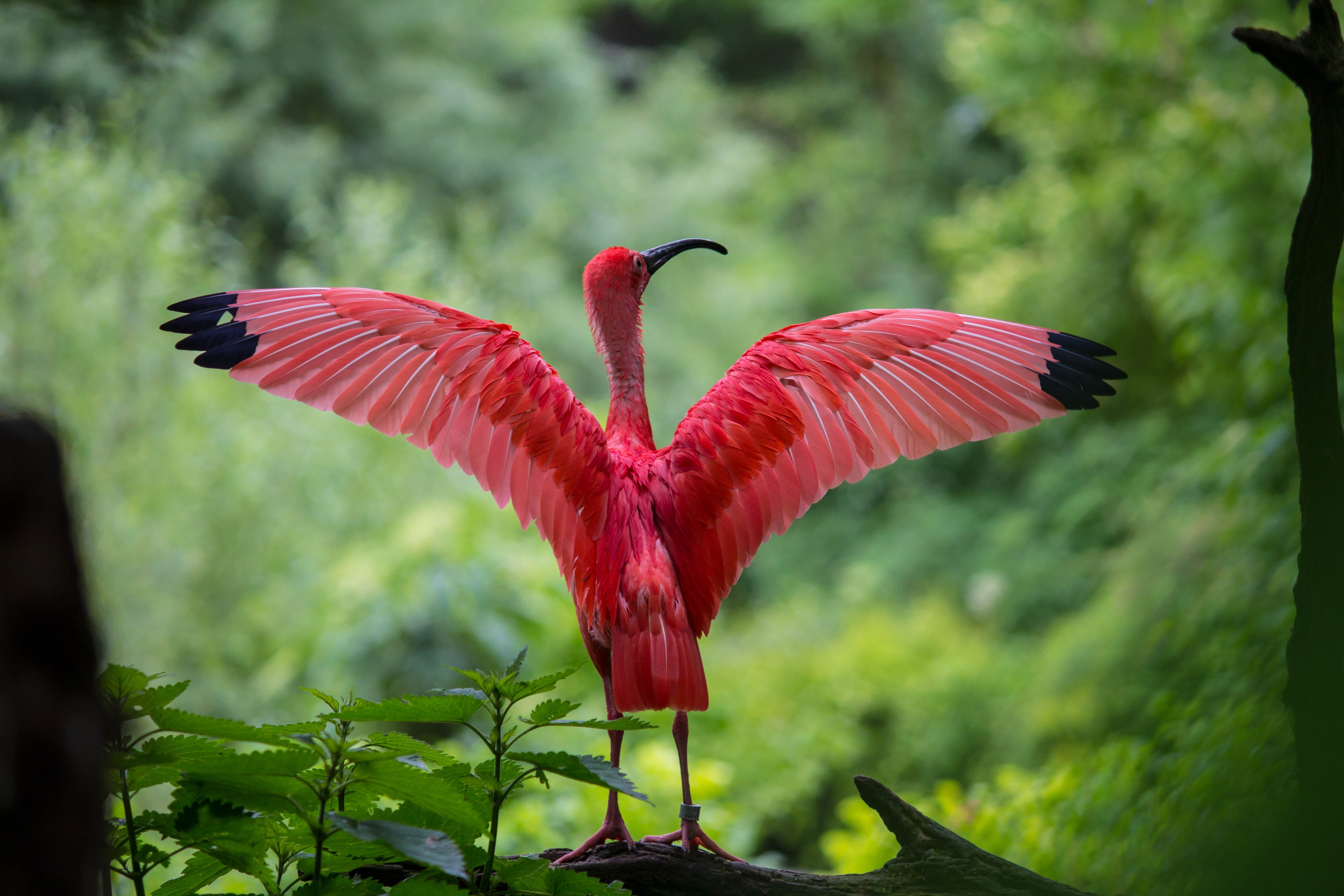 Flamingo Spreading Its Wings