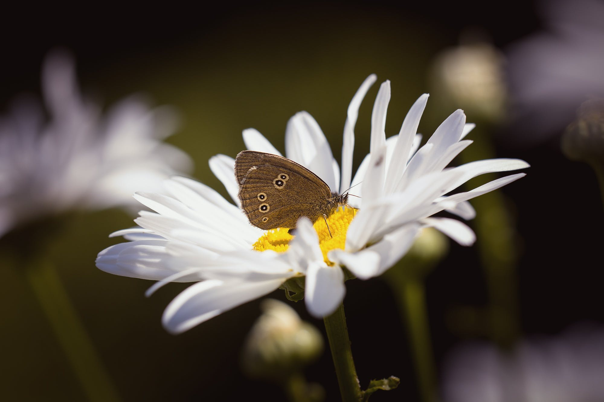 Brown Butterfly on Daisy
