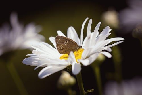 Ingyenes stockfotó életlen, fehér margaréták, fehér százszorszép, fehér virág témában