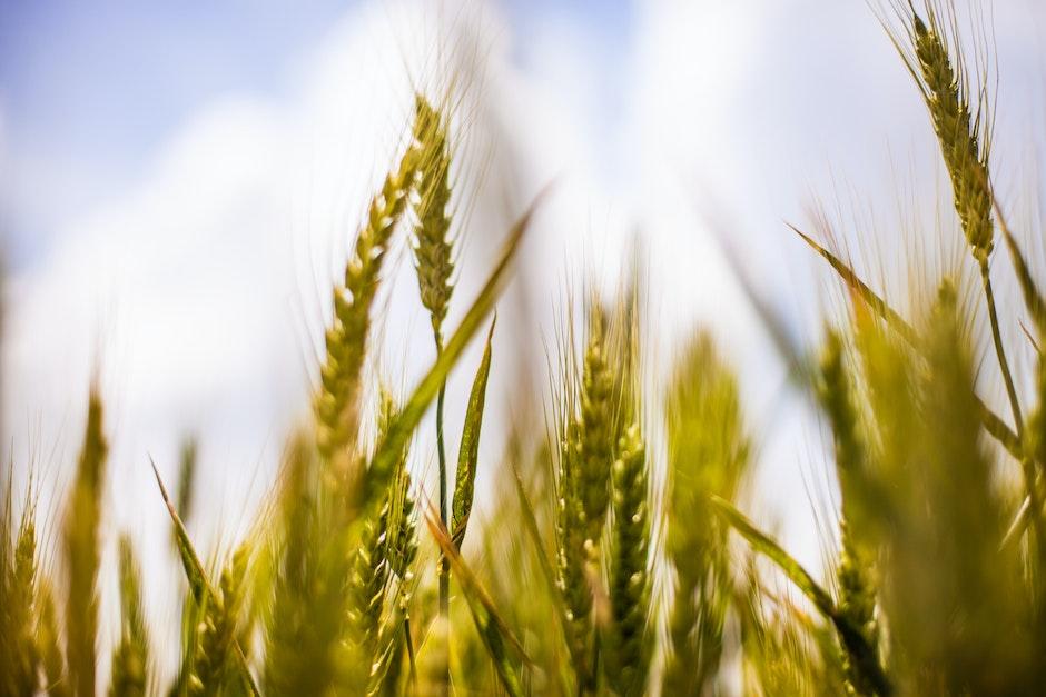 agriculture, barley, cereals