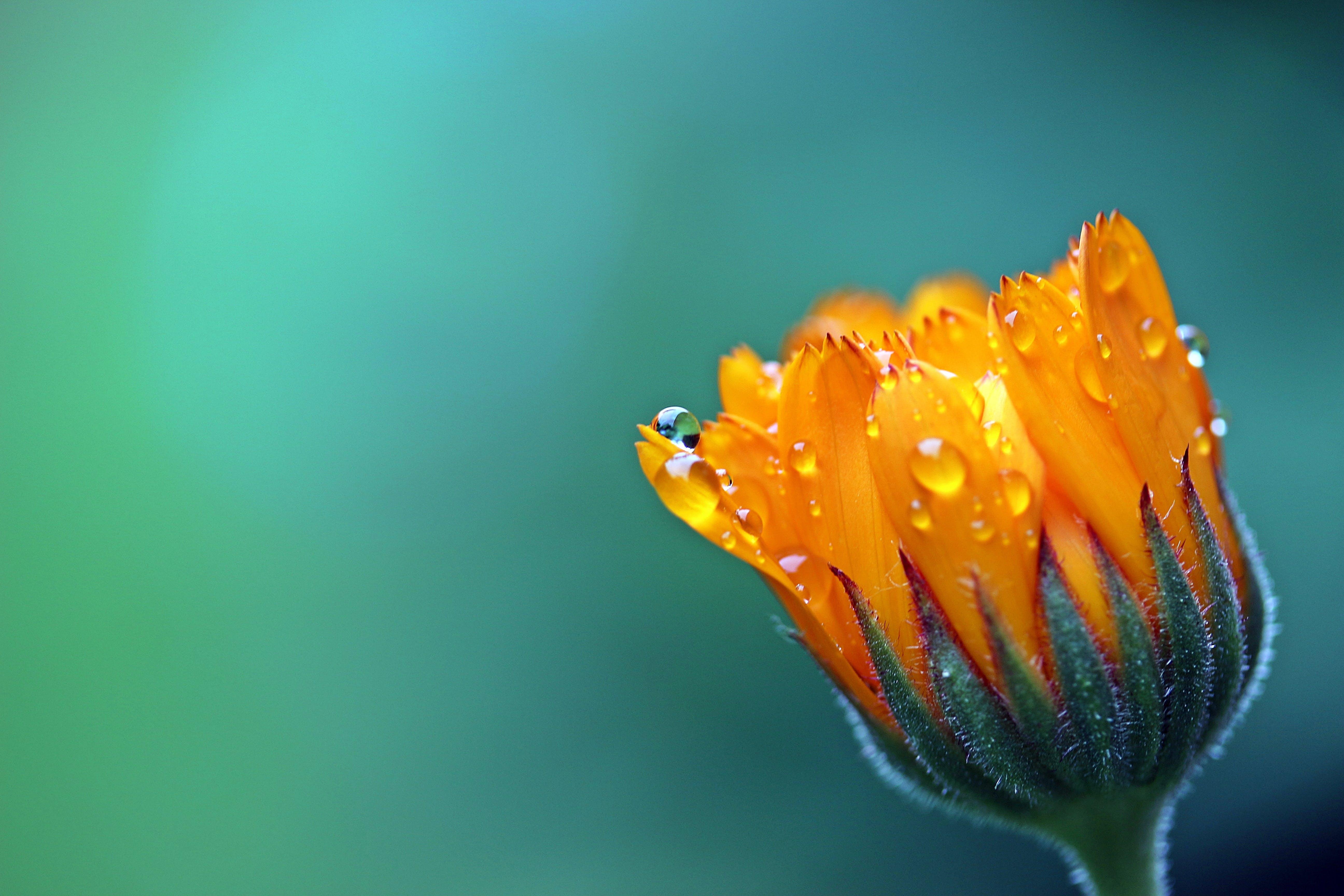 Kostenloses Stock Foto zu pflanze, tau, nass, blume
