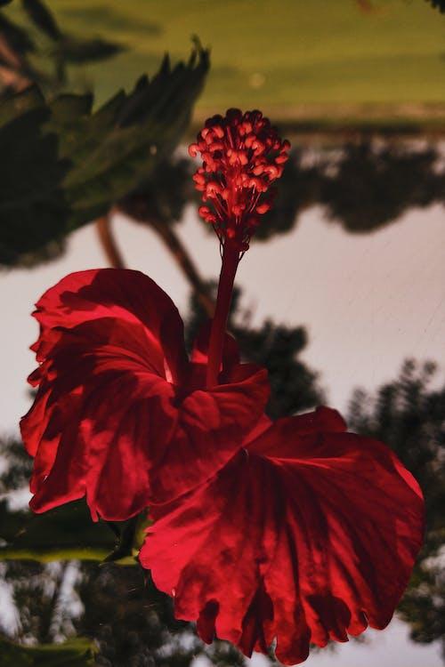 Darmowe zdjęcie z galerii z czerwony kwiat, hibiskus, rozmazany, rozmyte tło