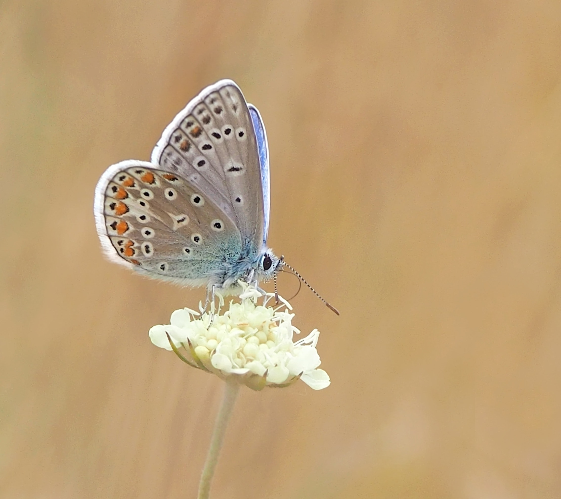 Common Female Blue Butterfly Free Stock Photo
