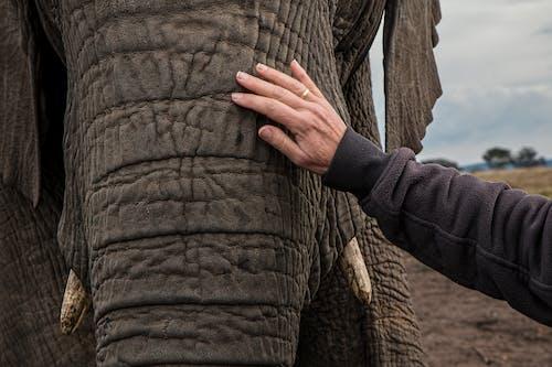 Foto stok gratis belalai gajah, binatang, fauna, gajah
