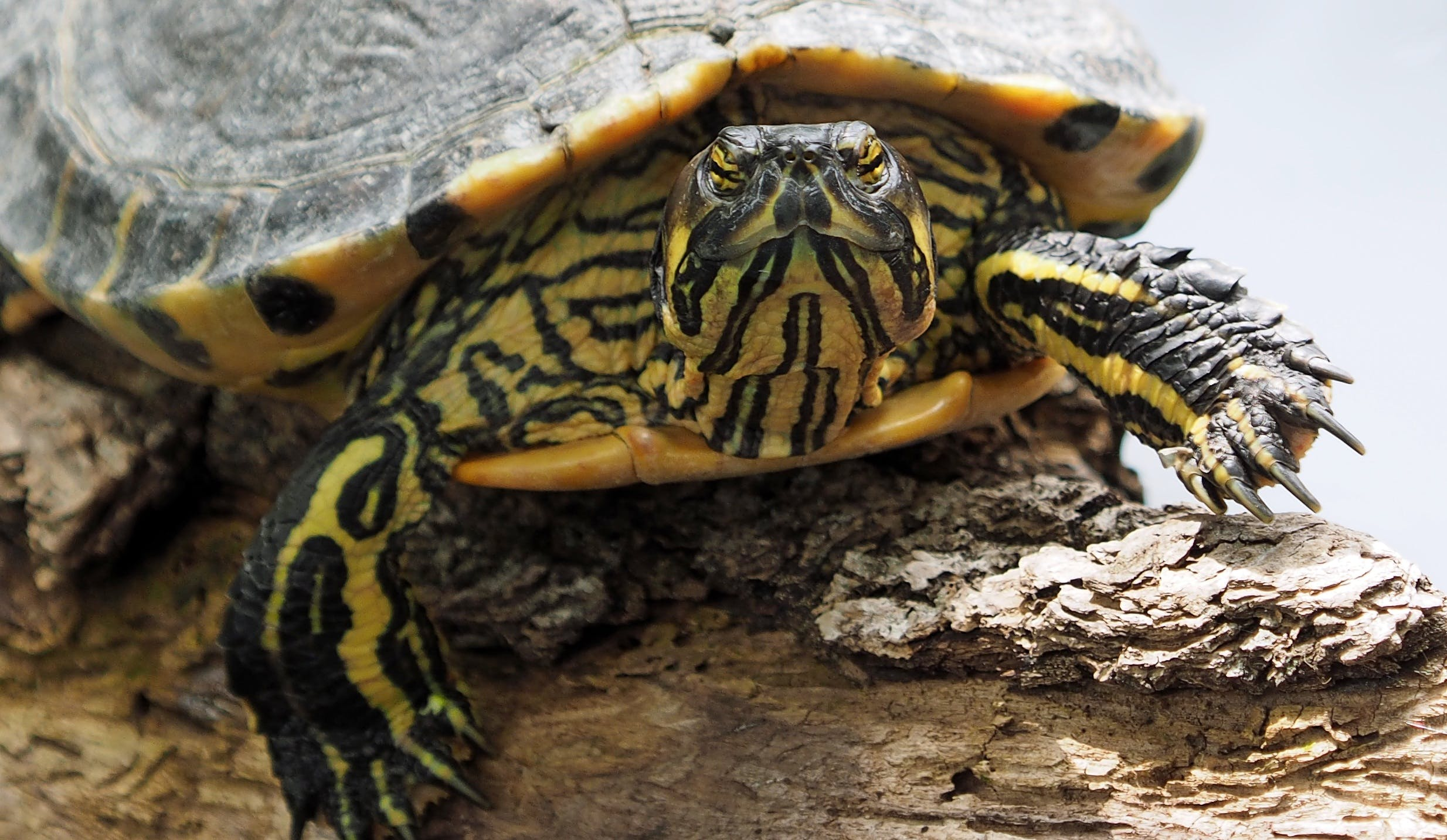 Yellow and Black Turtle