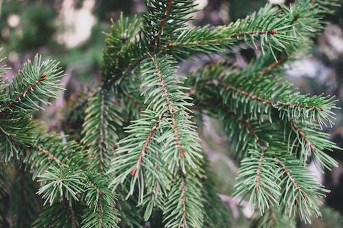 คลังภาพถ่ายฟรี ของ ต้นไม้, สน, สีเขียว