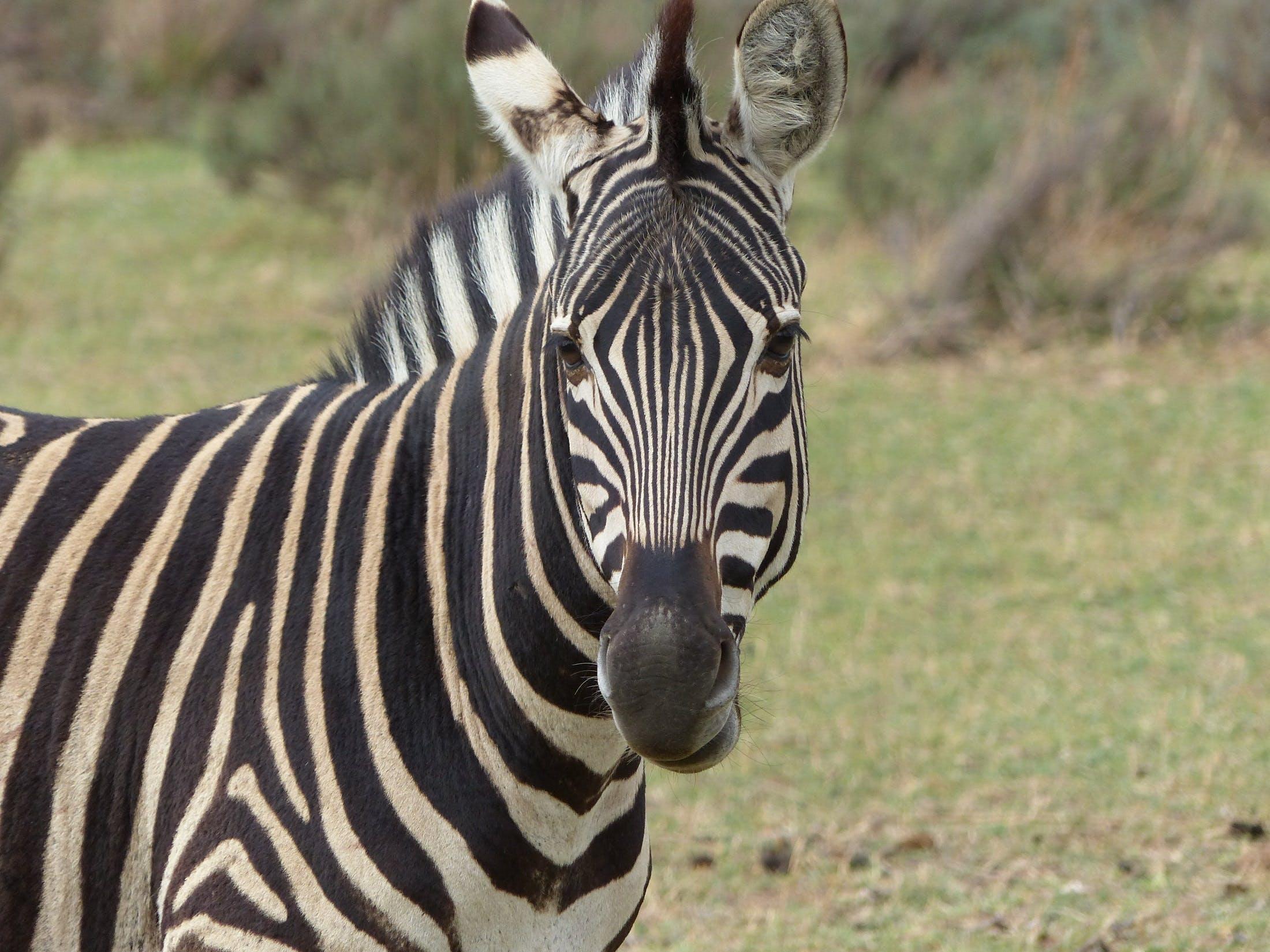 Close Up Photography of Zebra Animal during Daytime