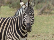 animal, grass, zebra