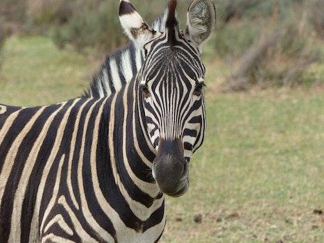 Kostenloses Stock Foto zu tier, gras, zebra, tierwelt
