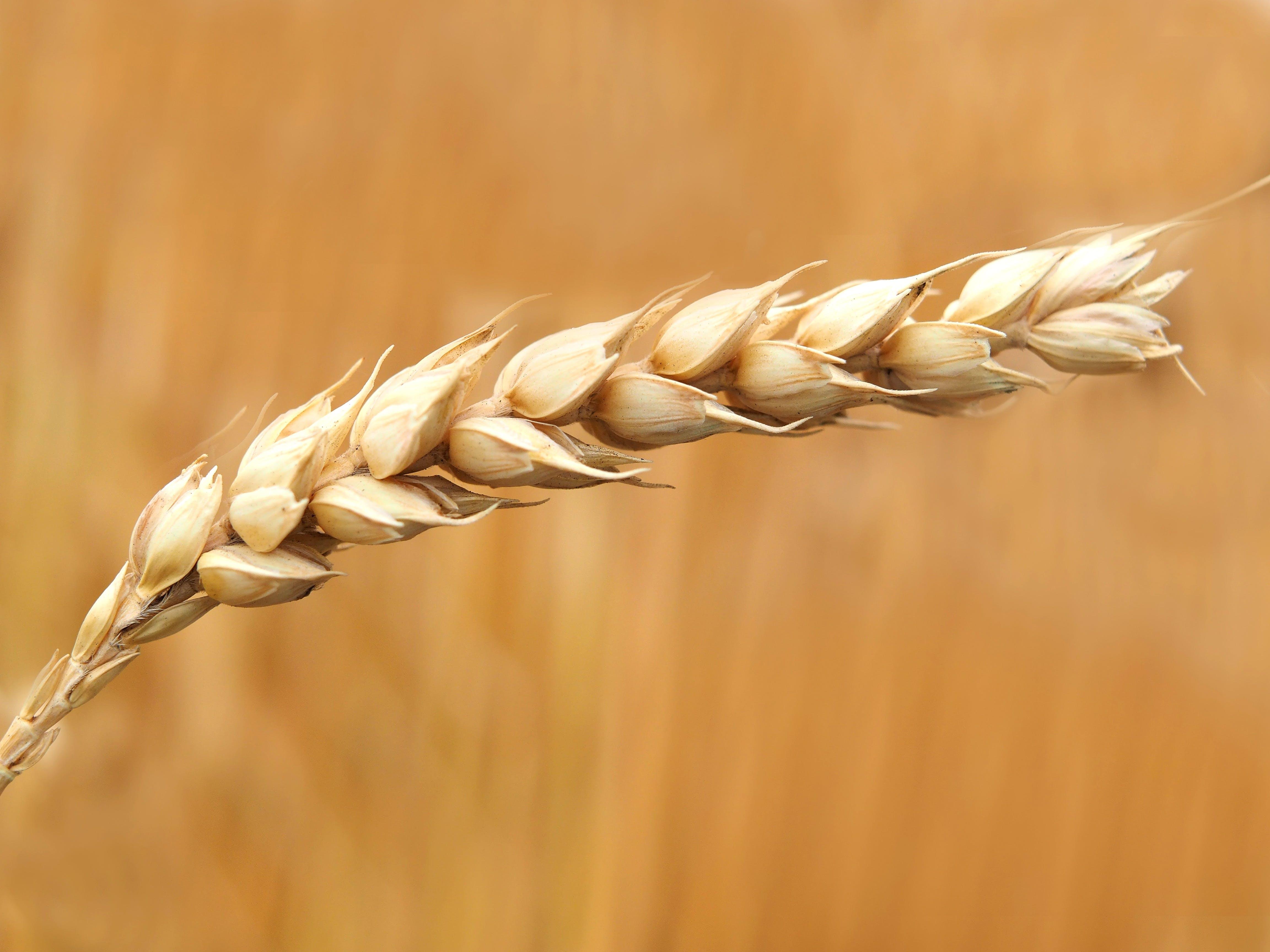 Wheat Grains Closeup Photography