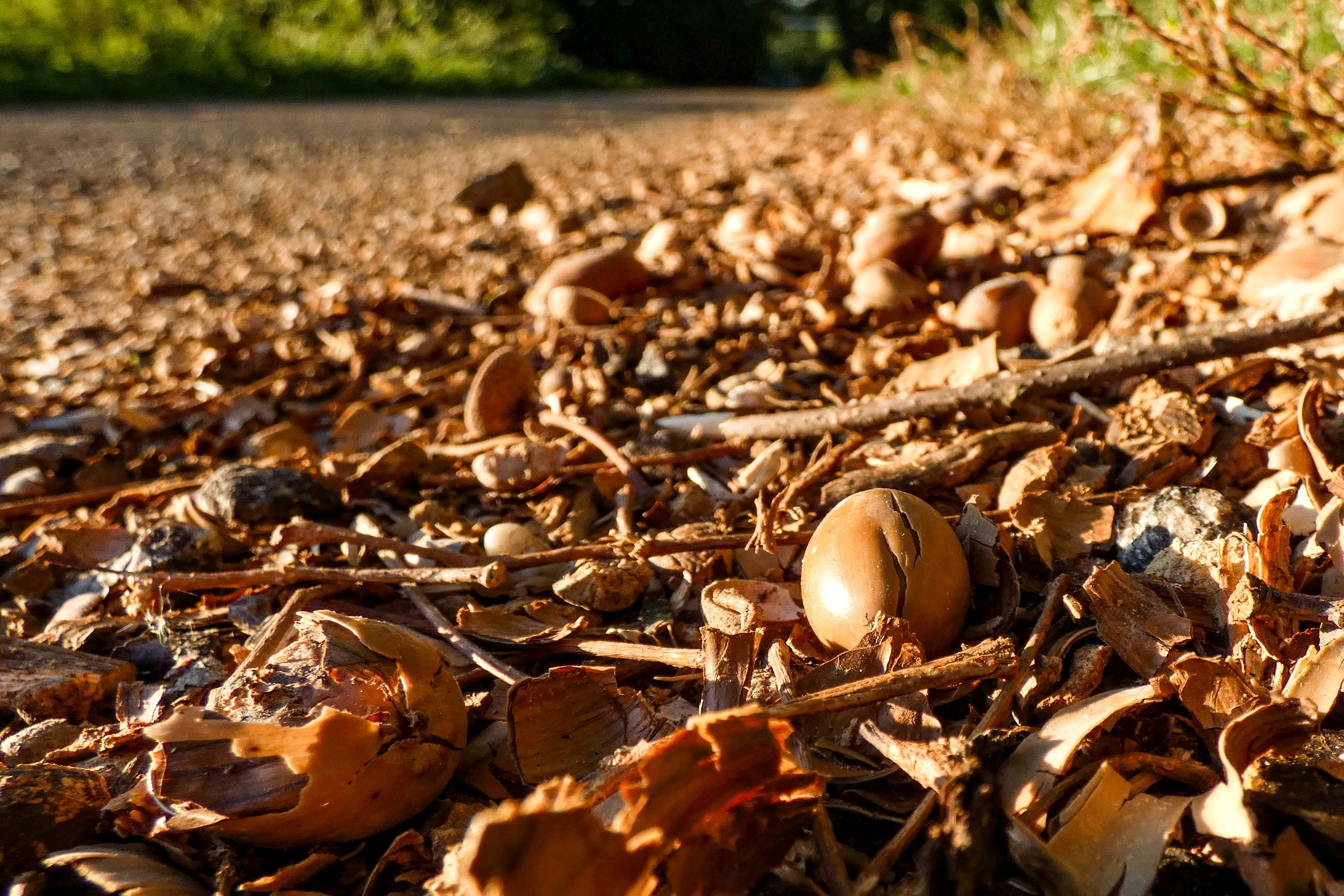 Free stock photo of acorns, autumn colors, crushed acorns, side of the road