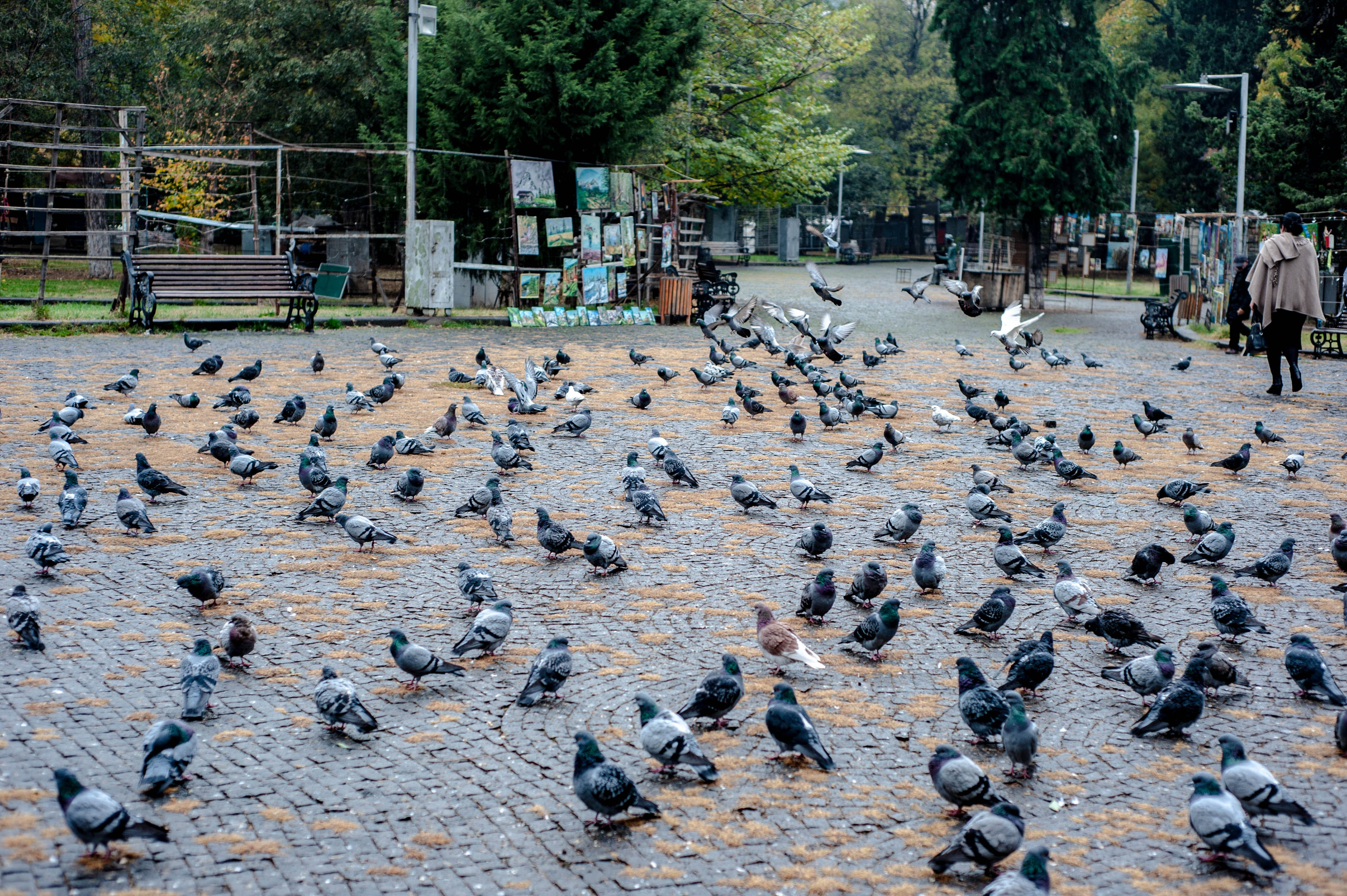 Free stock photo of city, city life, pigeon, pigeon crowd