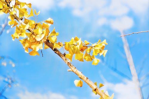 Foto d'estoc gratuïta de arbre, branca, fulles, ginkgo