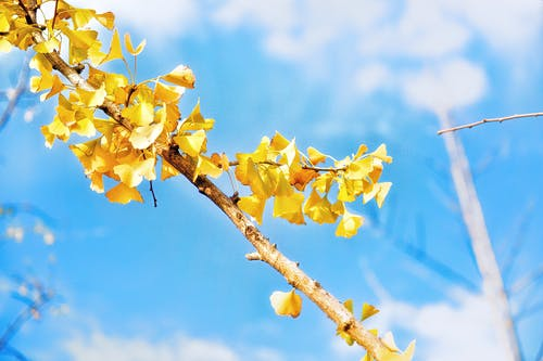 Foto profissional grátis de árvore, filial, folhas, ginkgo