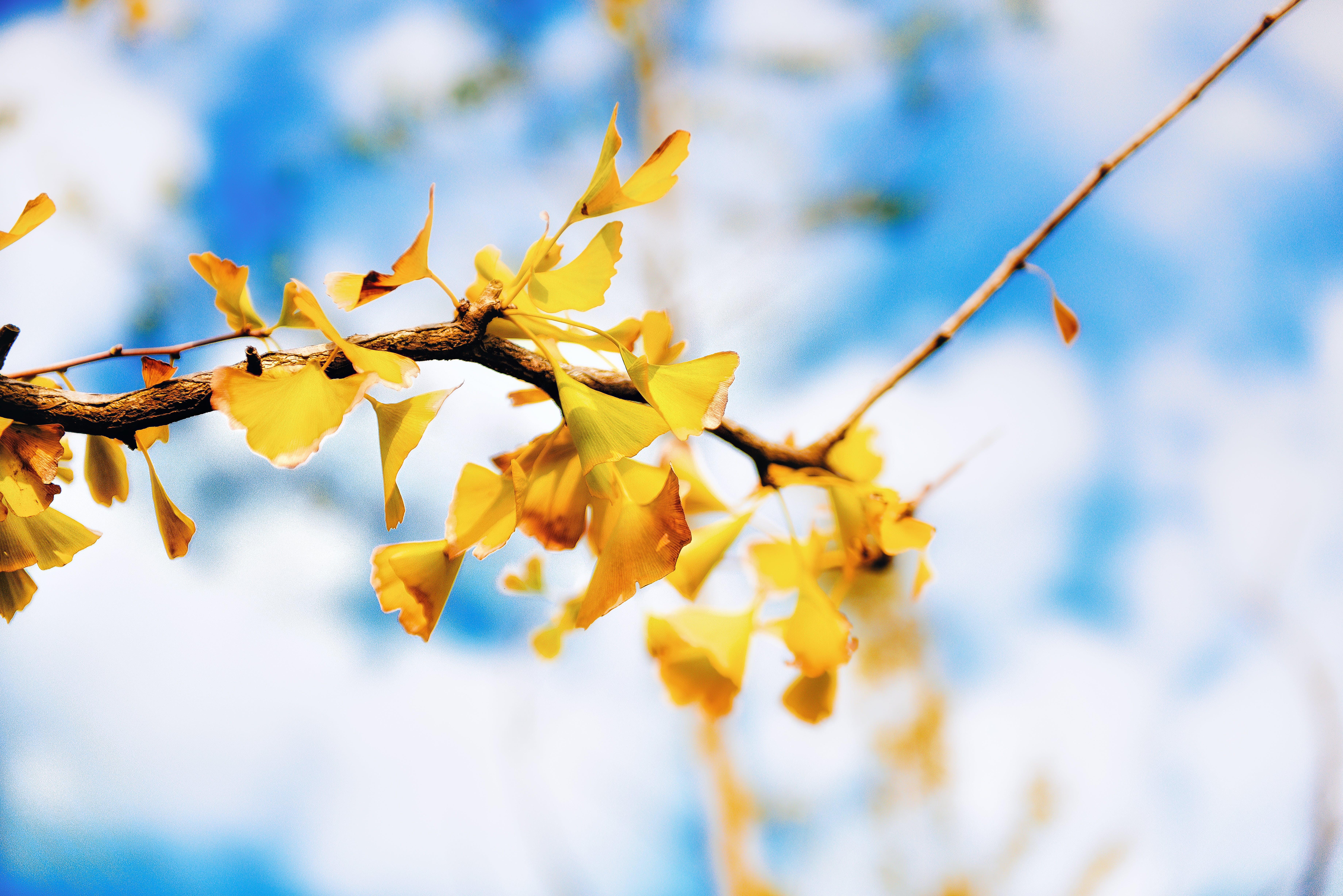 Free stock photo of autumn leaf, ginkgo, leaf, leaves