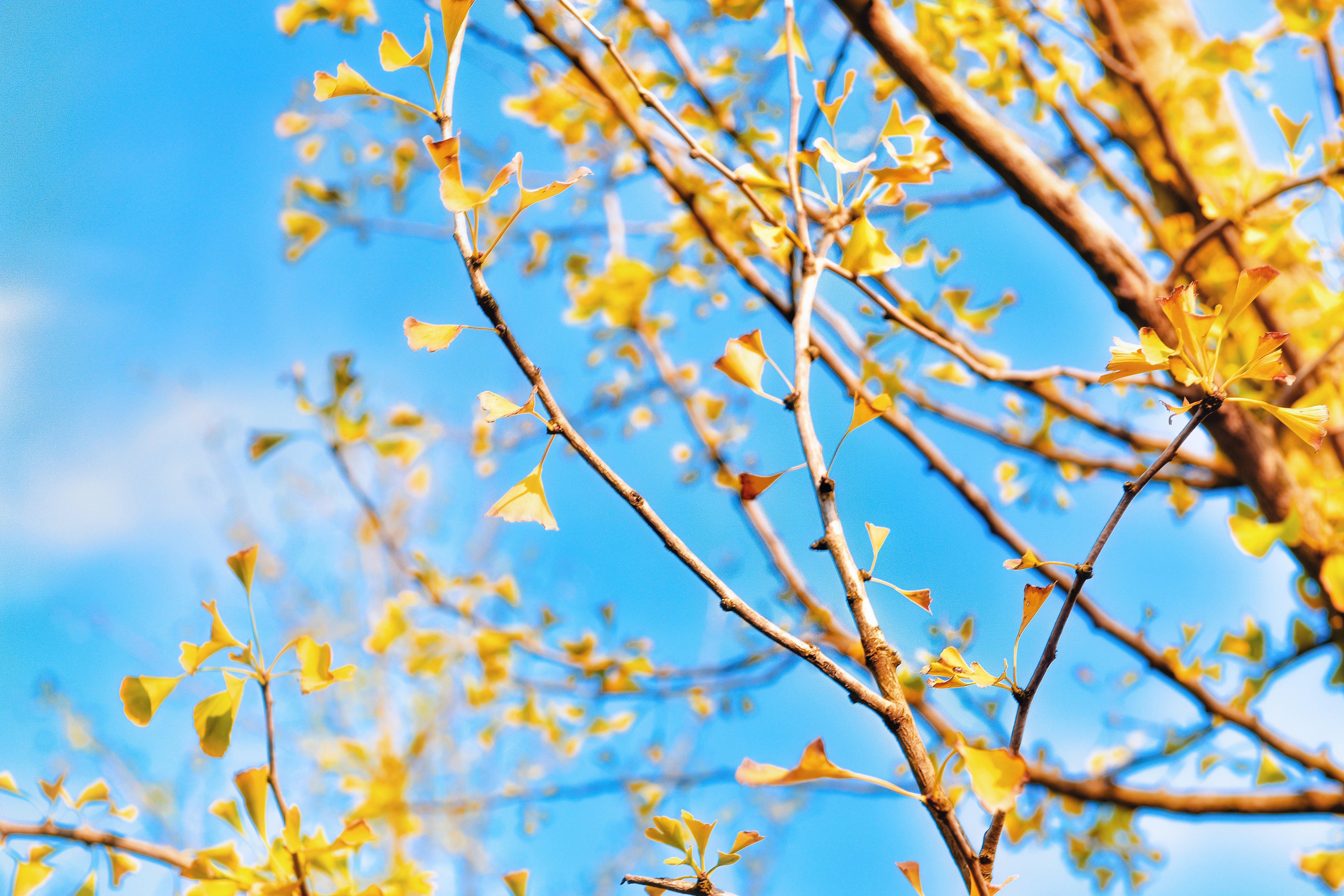 Free stock photo of autumn leaf, autumn leaves, ginkgo, leaf