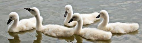 Photos gratuites de animal, bassin, blanc, cygne