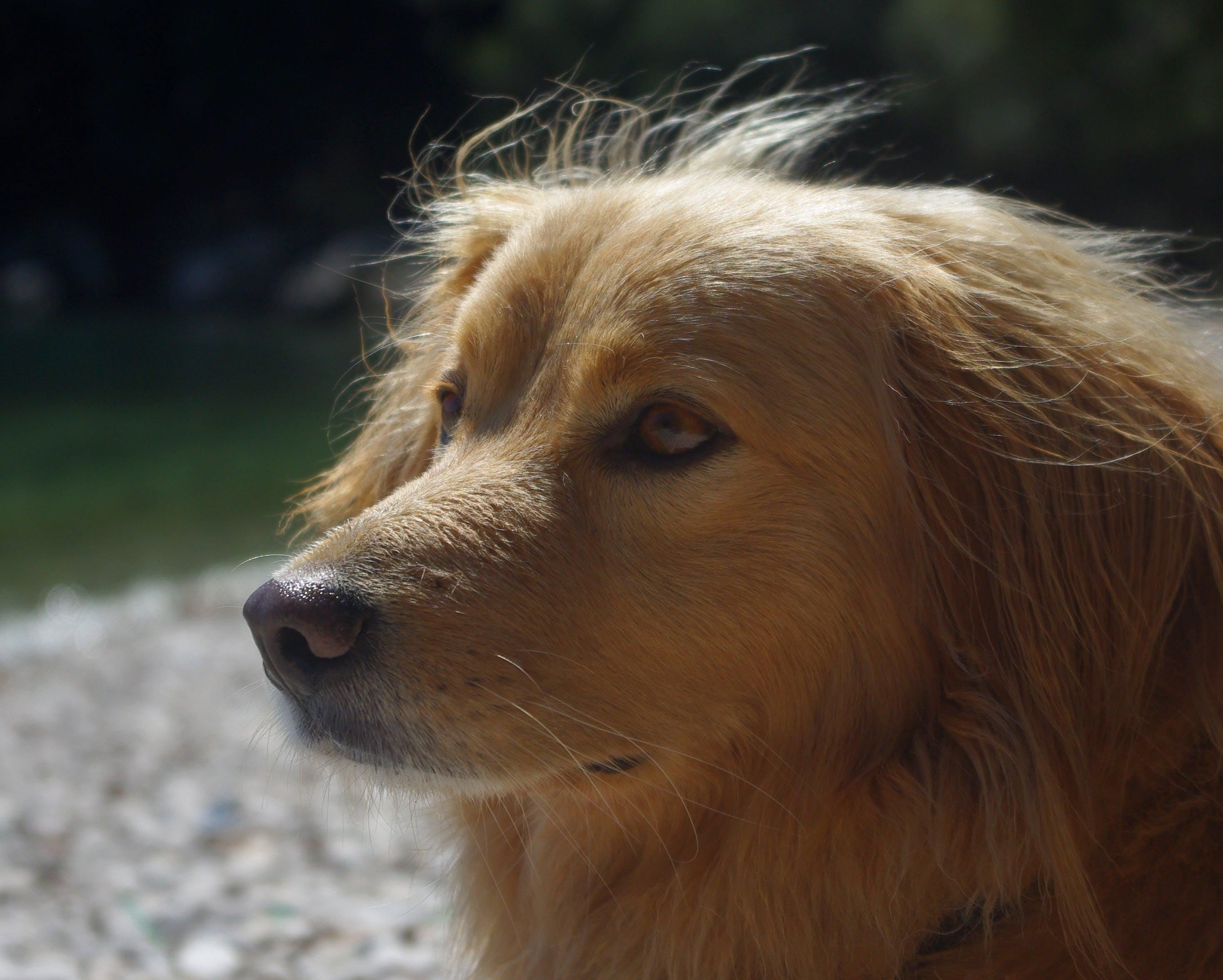 Free stock photo of beach, animal, dog, eyes