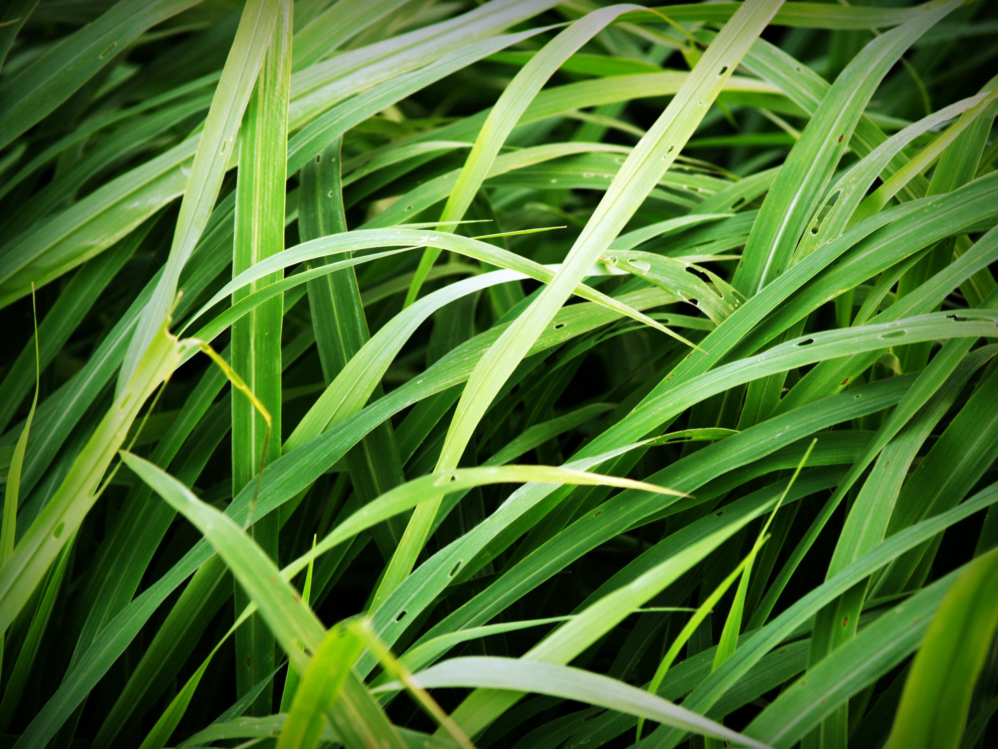 Green Tall Grass