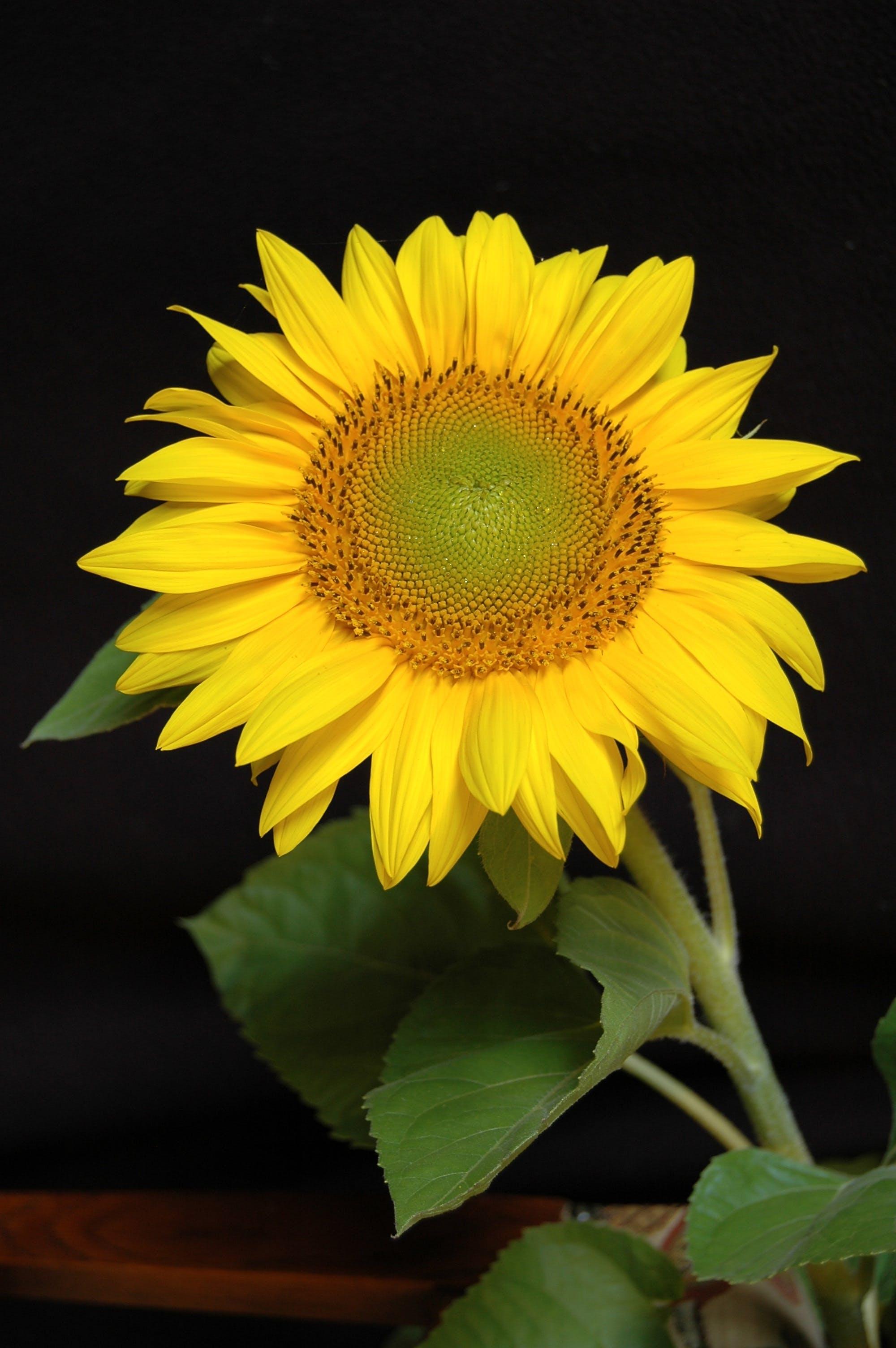 Gratis lagerfoto af blomst, close-up, flora, kronblade
