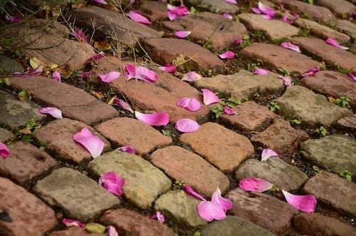 Kostnadsfri bild av blomma, flora, gatustenar, kronblad