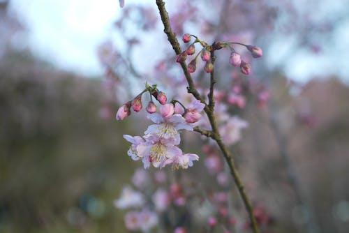 Free stock photo of cherry blossom, flower, flower japan