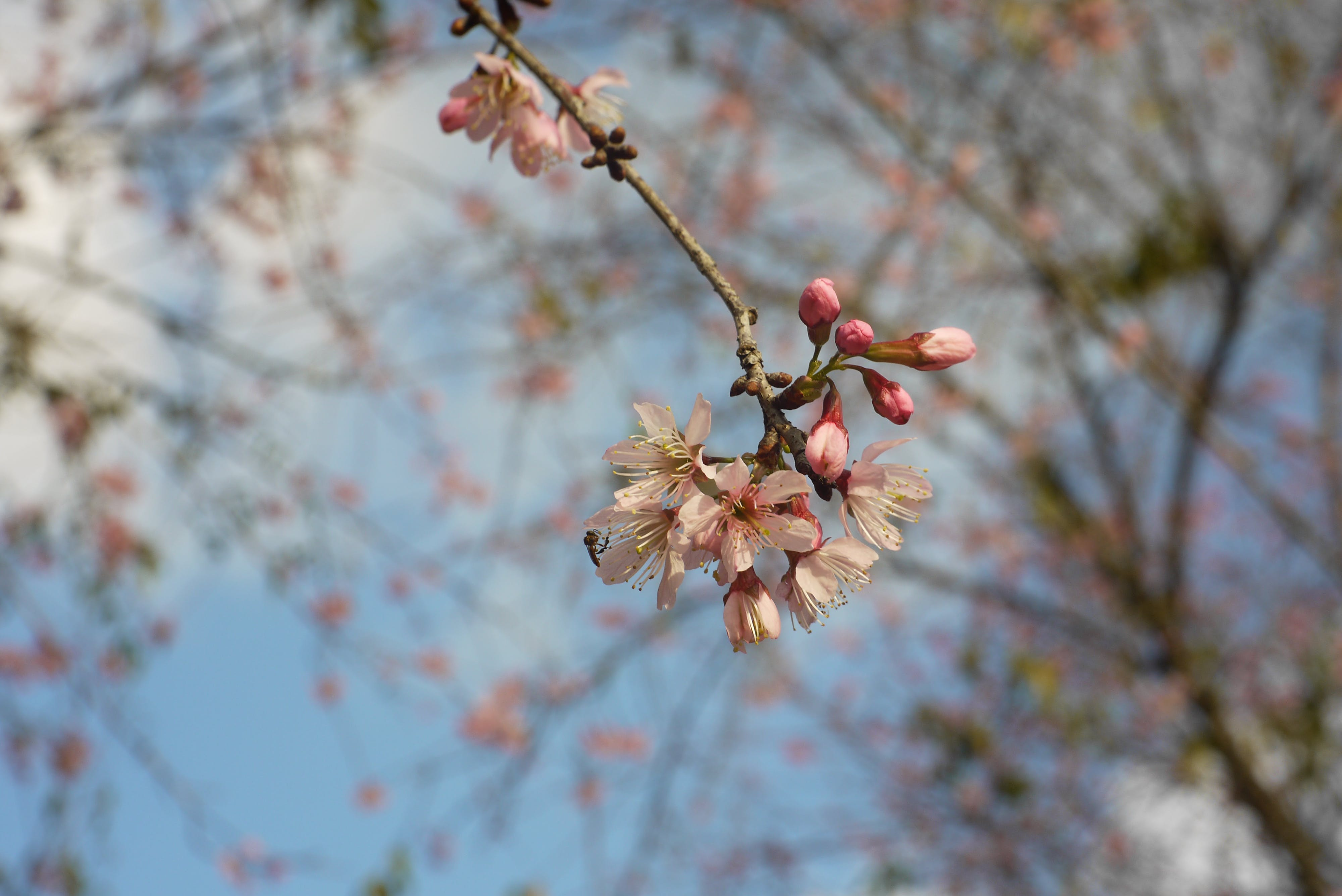 Free stock photo of cherry blossom, flower, sakura