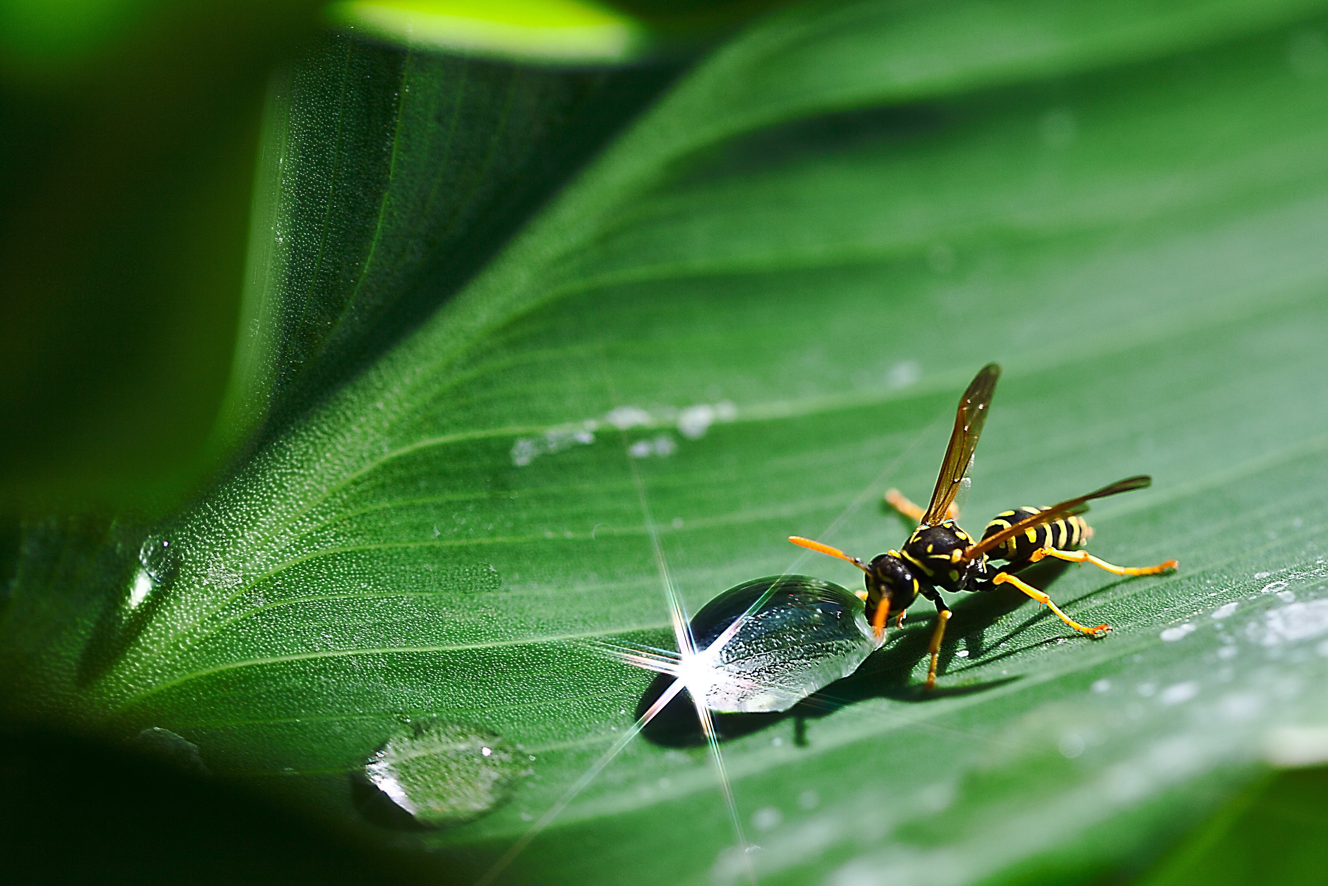 Paper Wasp Beside Dew Drop on Plant Leaf
