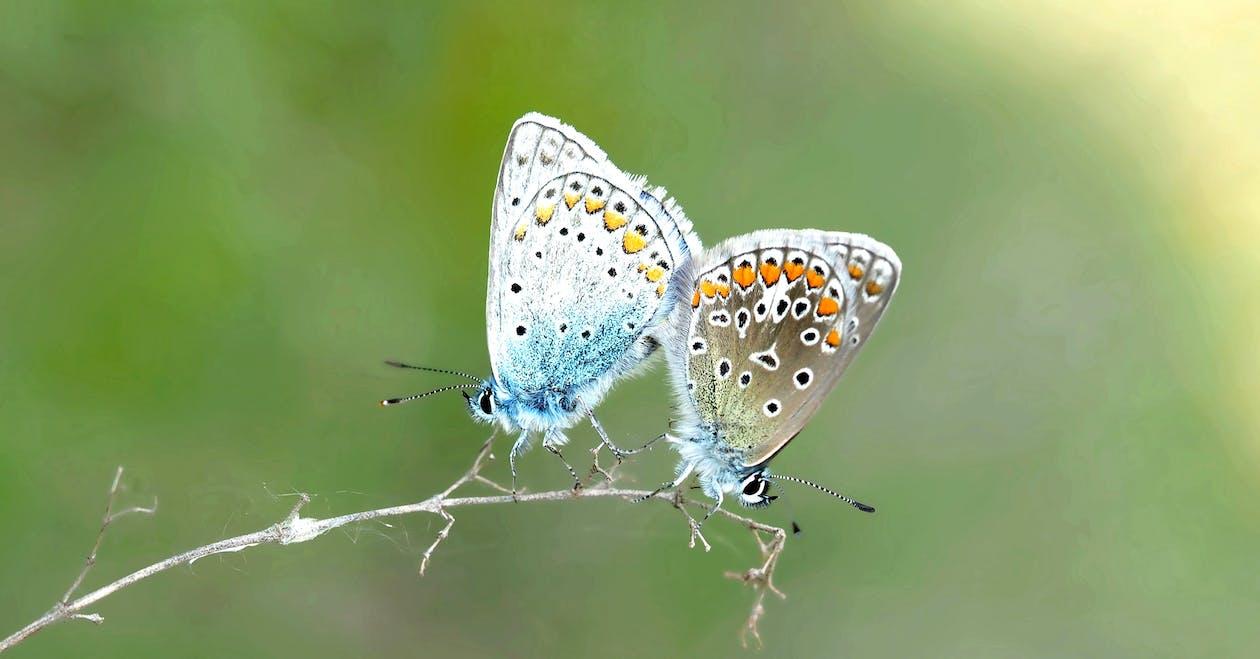 宏觀, 昆蟲, 蝴蝶