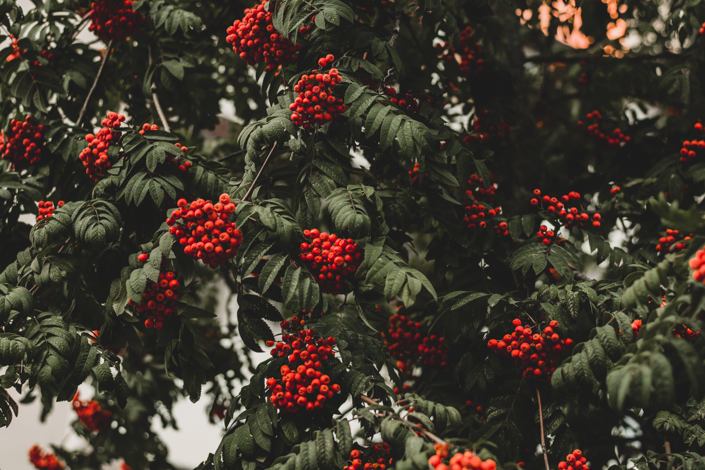 Kostenloses Stock Foto zu natur, rot, früchte, blätter