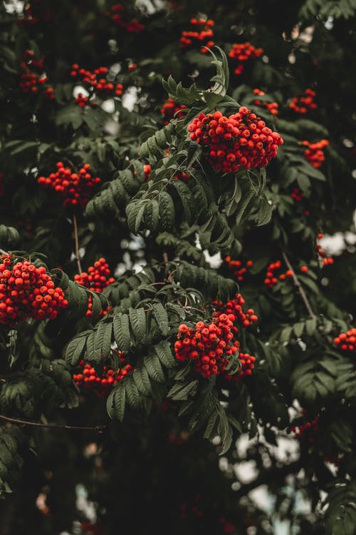 Green Leaf Tree With Red Fruits