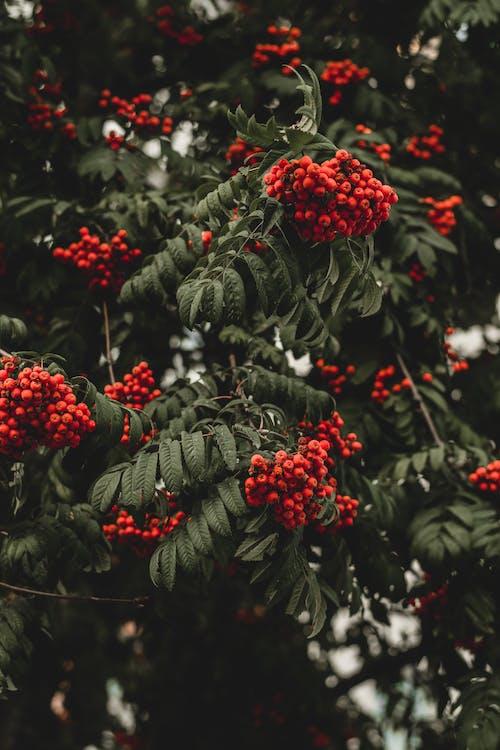 Foto d'estoc gratuïta de alba, alt, arbre, baies