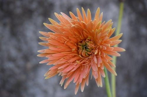 Free stock photo of beautiful flowers, flower, flowers, orange flower