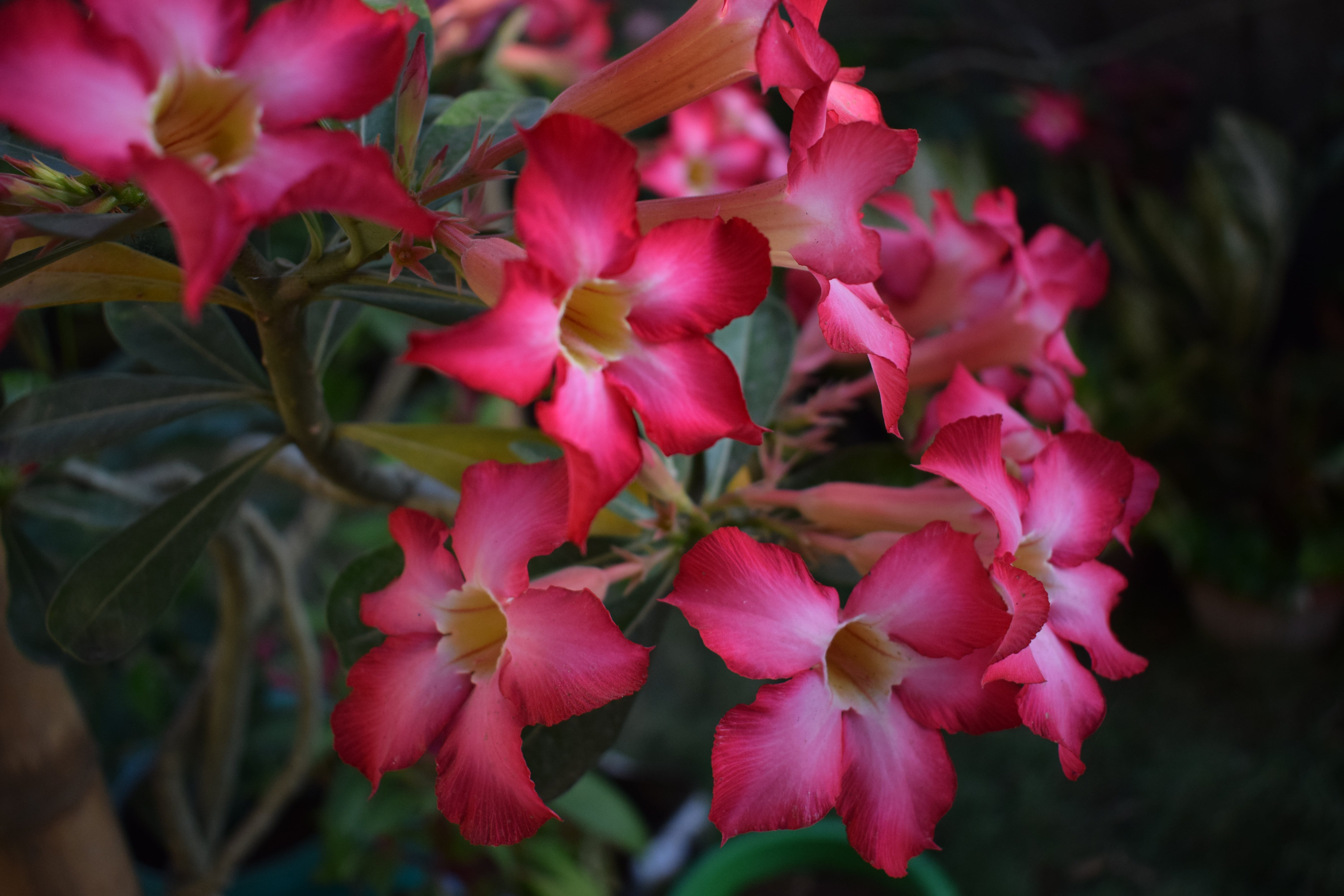 Free stock photo of beautiful flowers, flowers, pink flowers, red flowers