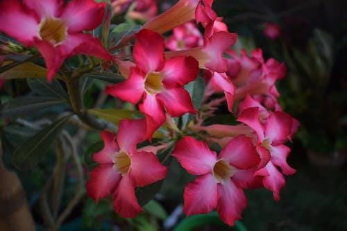 Kostenloses Stock Foto zu blumen, pinke blumen, rote blüten, schöne blumen