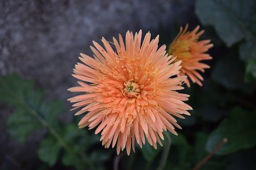 Free stock photo of beautiful flowers, flowers, orange flower