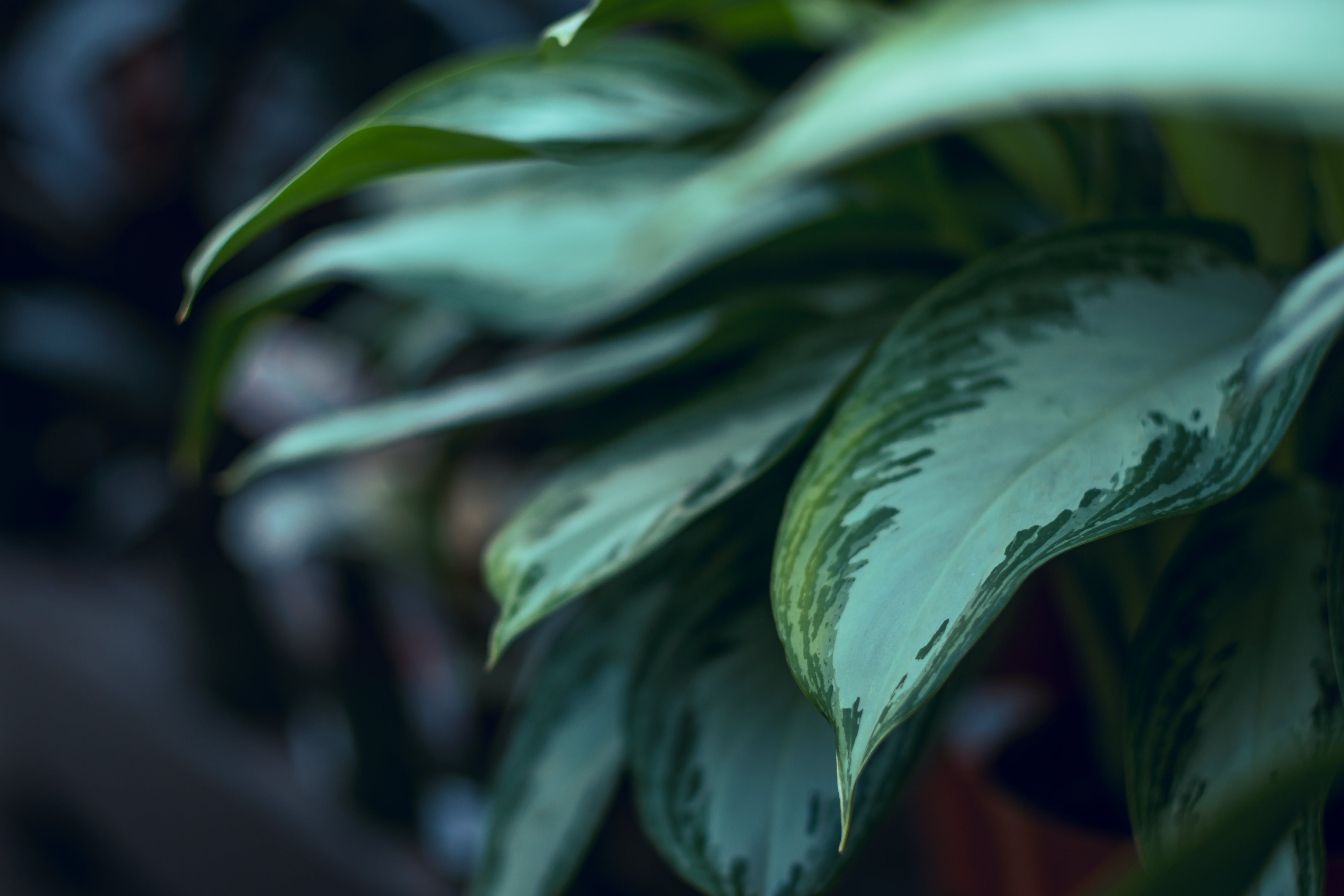 Selective Focus Photo of Green Dumb Cane