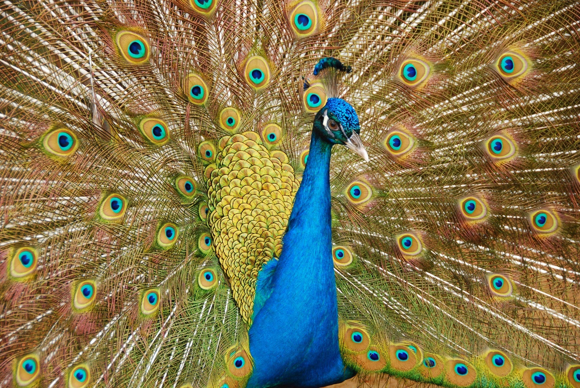Male Peafowl Spreading Tail