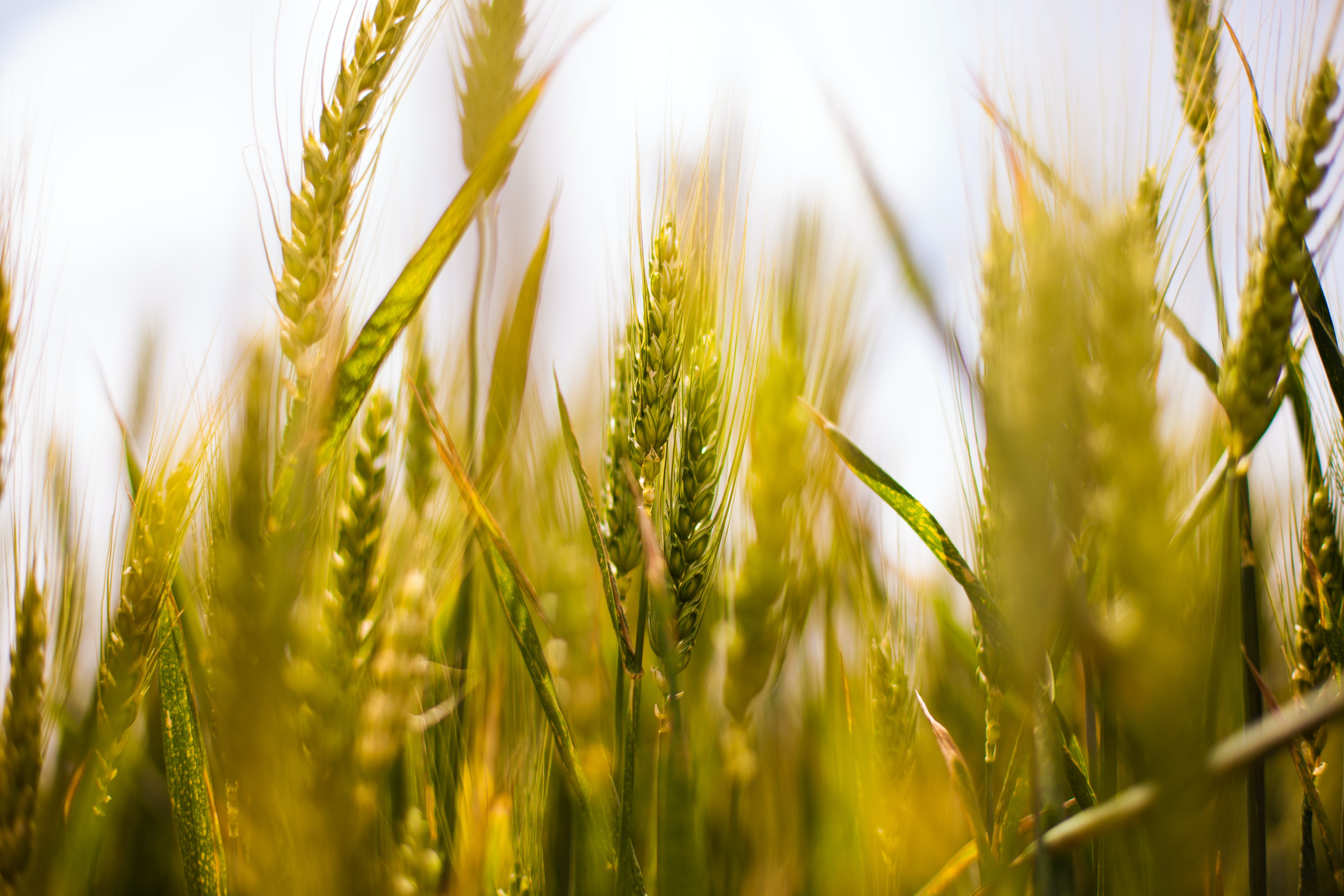 agriculture, cereals, cornfield