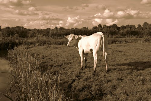 Free stock photo of animal, bovine, cattle, cow
