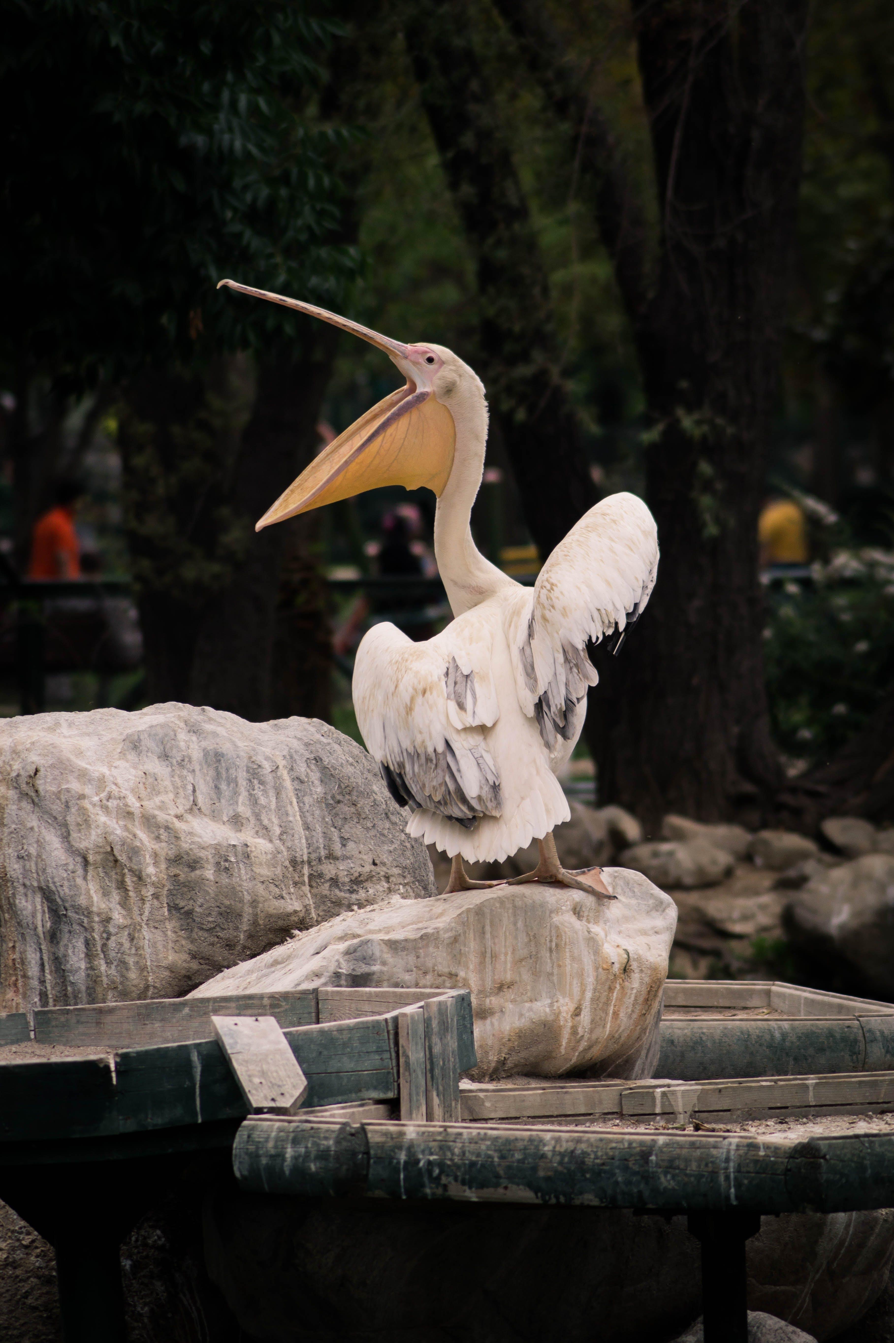 Pelican Standing on Stone