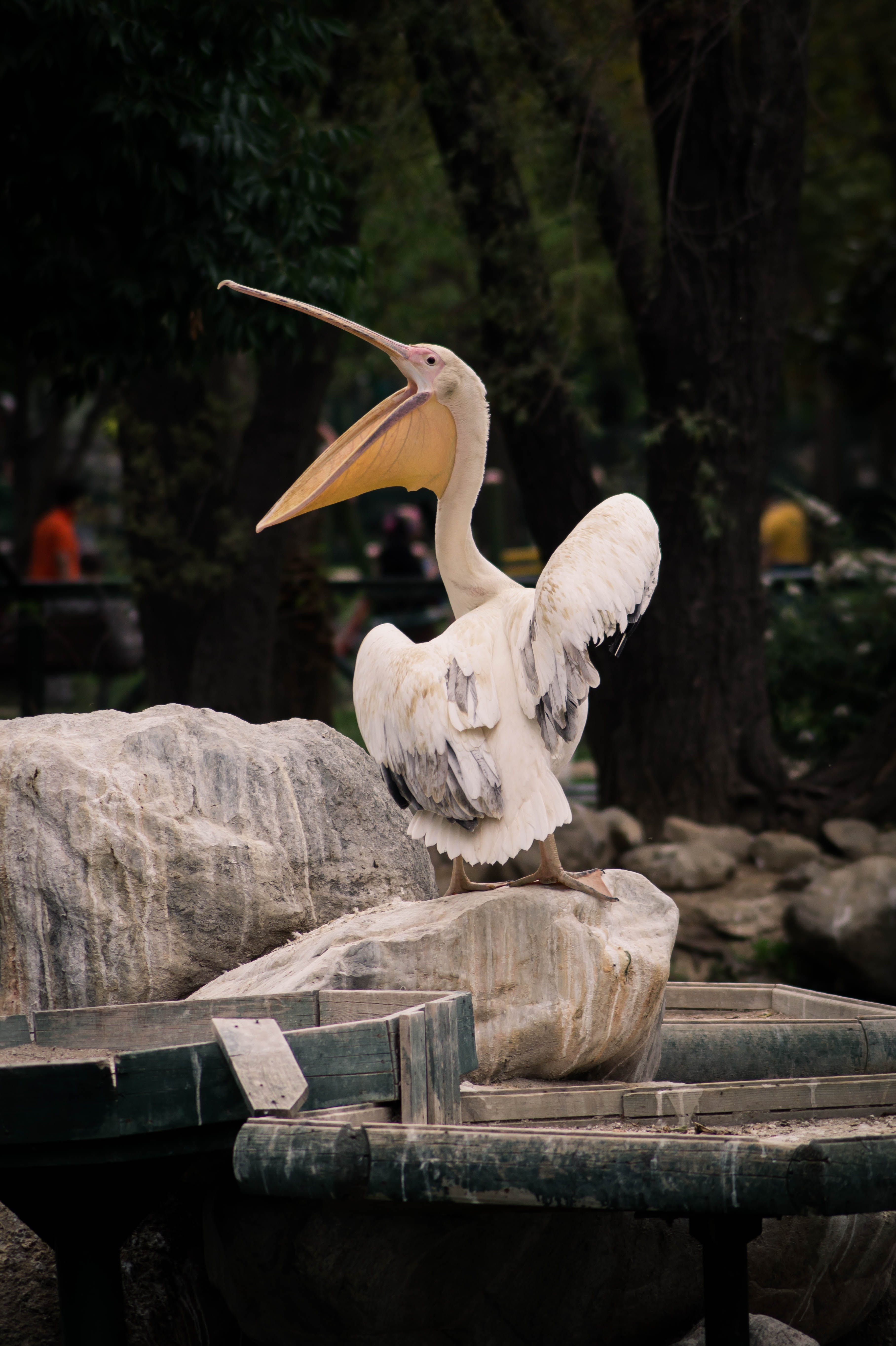 Pelican Standing on Stone