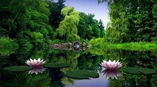 Бесплатное стоковое фото с лотос, природа